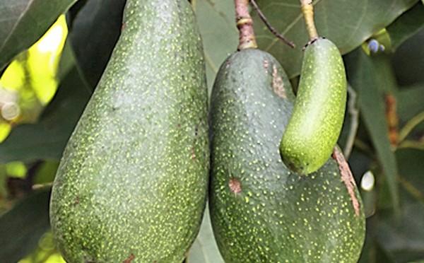 Как и кога да берем авокадо